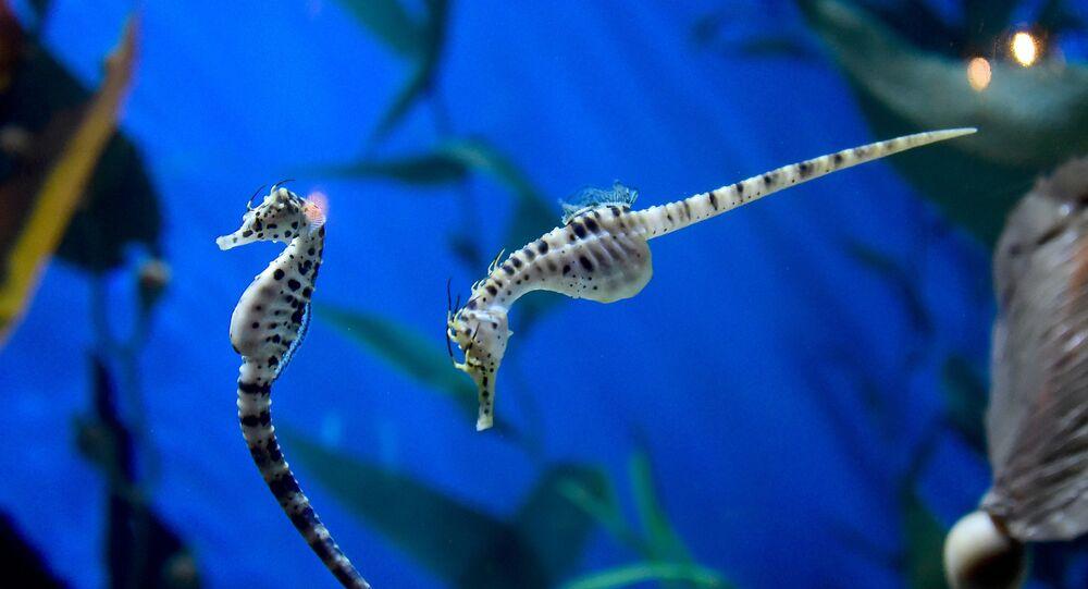 فرس البحر، وهو نوع من الأسماك يتبع فصيلة زمارات البحر