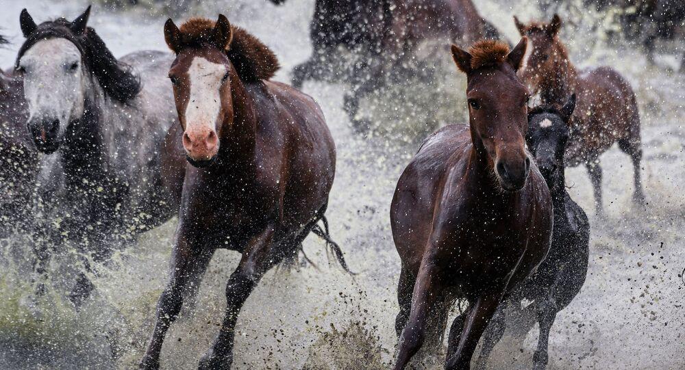 خيول في منغوليا، 19 أغسطس 2019