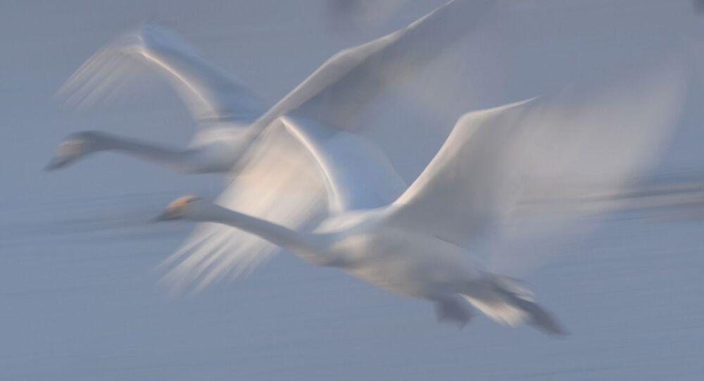 بجع يحلقون فوق بحيرة البجع المتواجدة على أراضي المحمية الطبيعية في إقليم ألتاي الروسي