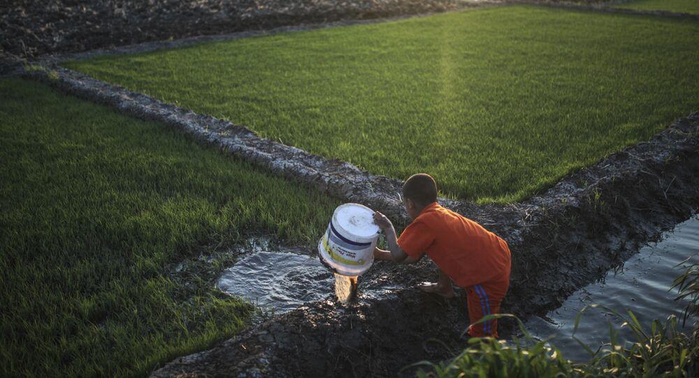 زراعة الأرز في الدلتا المصرية