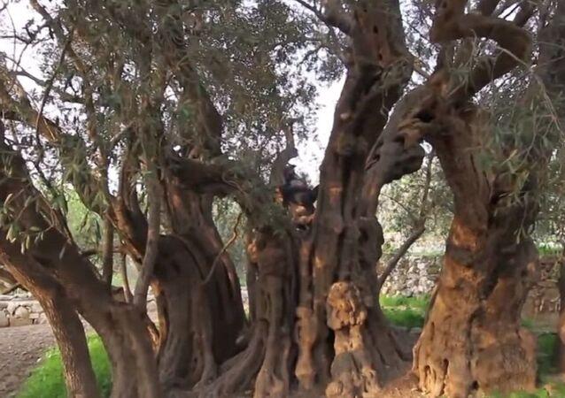 أقدم شجرة زيتون في العالم