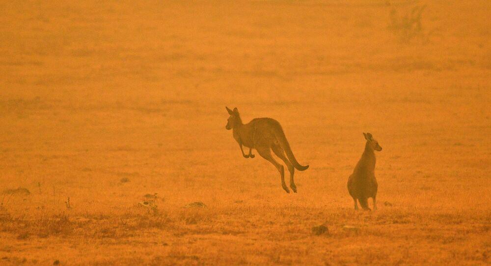 حيوانات الكنغر تقفز بعيدا عن موقع نشوب الحرائق في أستراليا، 4 يناير 2020