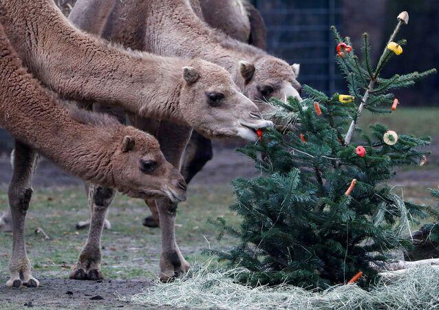حديقة تيربارك للحيوانات تطعم الجمال بأغصان من أشجار عيد الميلاد المتبقية في برلين، ألمانيا 3 يناير 2020