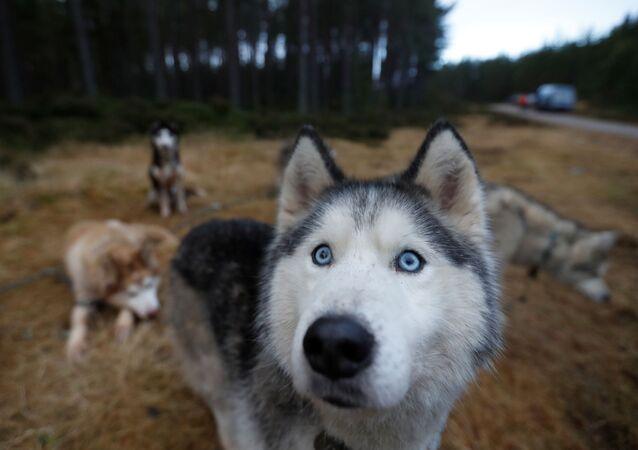 كلب الهاسكي قبل بدء سباق الكلاب على مزلجة Aviemore Sled Dog Rally السنوي في اسكتلندا، بريطانيا 21 يناير 2020