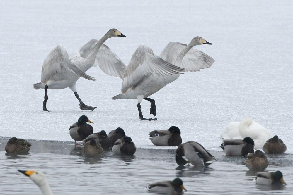 بجعات وبط على بحيرة ليبيدينويه (البجعة) في محمية البجعات الطبيعية البجع في إقليم ألتاي الروسي، 21 يناير 2020