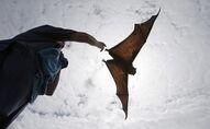 ثعلب طائر أو خفاش الثمار
