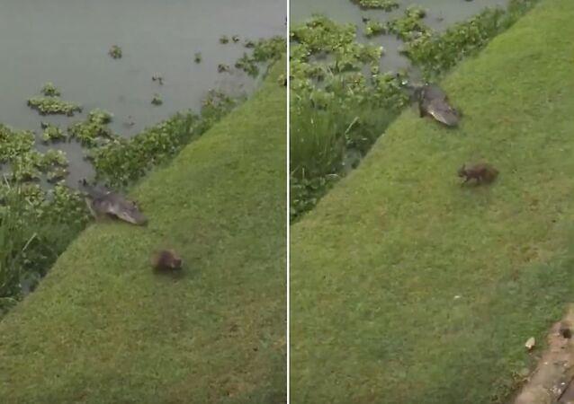 لحظات وكان فريسة... راكون يهرب من تمساح في آخر لحظة