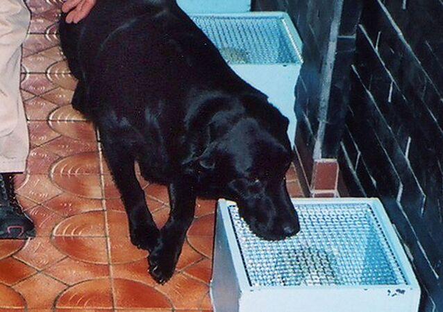 كلبة من فصيلة لابرادور