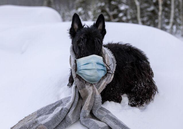 كلب يرتدي قناعا واقيا من فيروس كورونا، 11 فبراير 2020