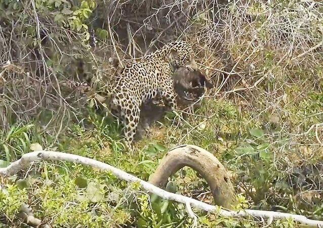 كائن مائي صغير ينقذ طفله من بين أنياب نمر اختطفه ليأكله