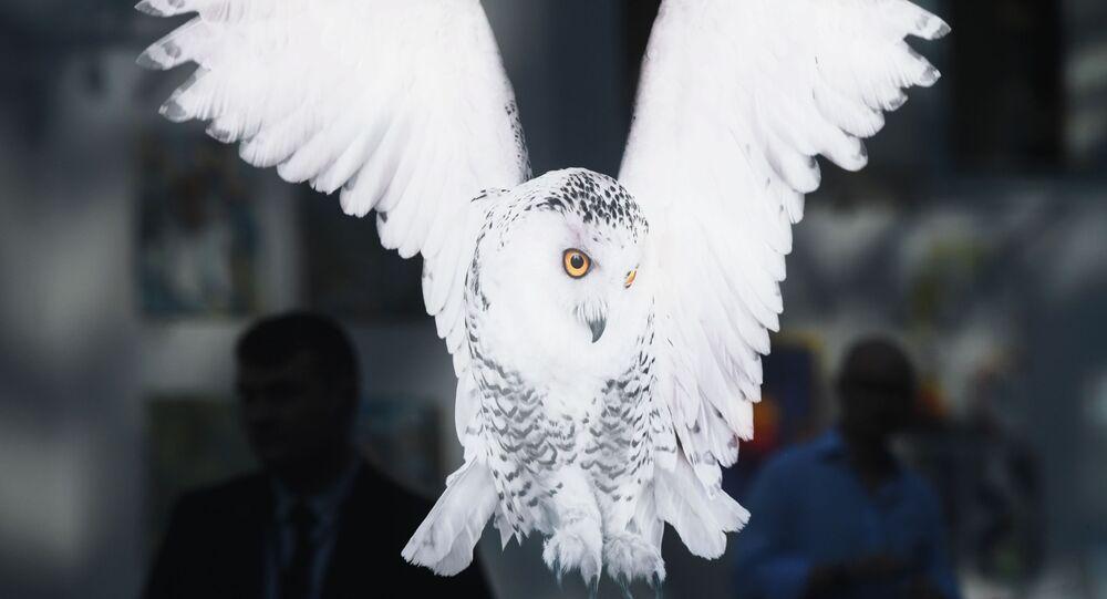 طائر بوم أبيض