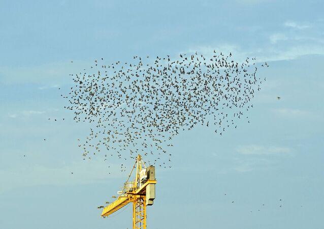 مئات العصافير تنشوي على أسلاك الكهرباء