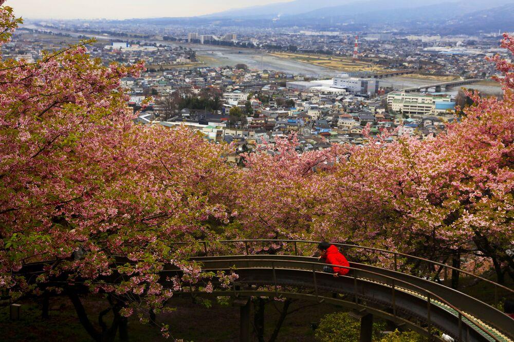 مهرجان تفتح أزهار الكرز في ماتسودا، محافظة كاناغاوا، جنوب اليابان 29 فبراير 2020
