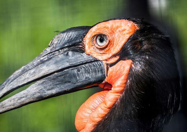 طائر أبو قرن الأرضي الجنوبي