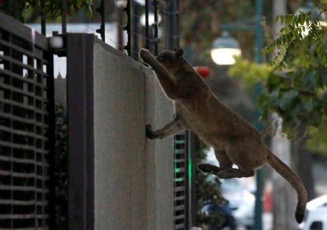 استغل أسد الجبال، الحيوان المفترس، خلاء شوارع عاصمة تشيلي، سانتياغو، فرض حظر التجول لاحتواء فيروس كورونا 24 مارس 2020