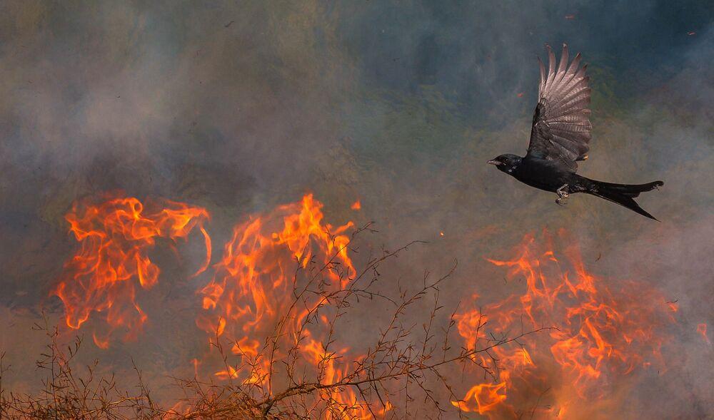 صورة بعنوان طائر الفينيق، للمصور سابتارشي غاين، الفائز في فئة التصوير تحت سن الـ 16  من مسابقة مصور TTL للطبيعة لعام 2020