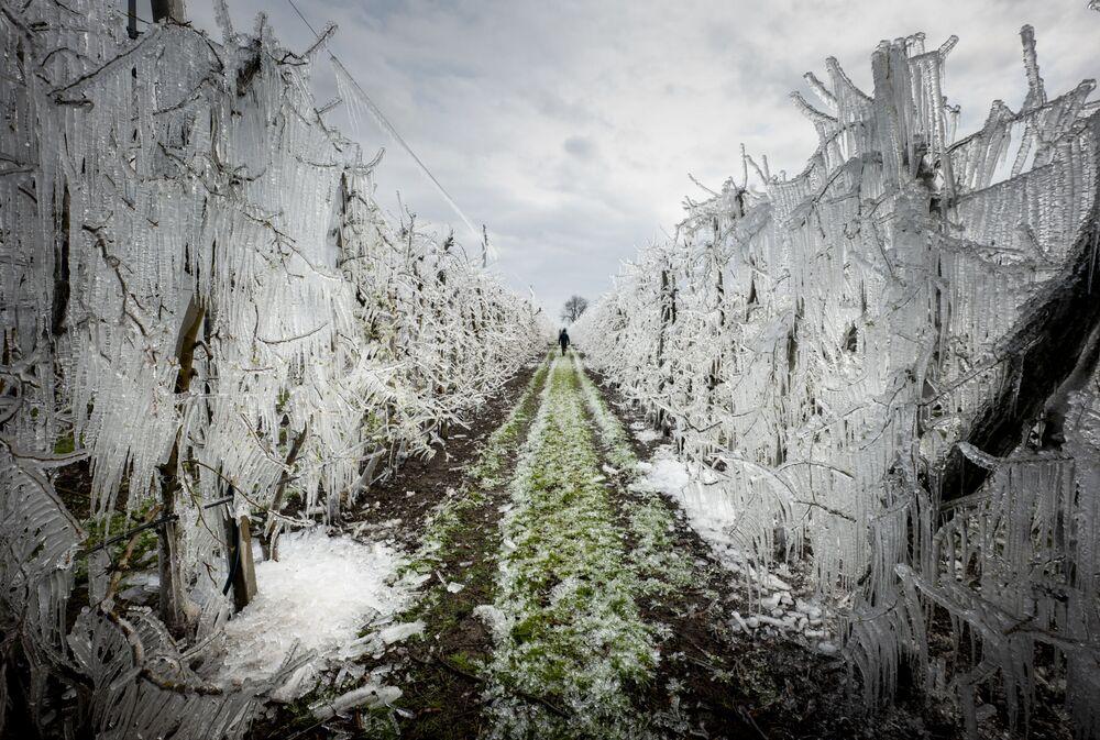 رجل يسير في زقاق من أشجار التفاح المغطاة بالجليد في بستان التفاح خارج قرية ميلوسلافوف-ألزبيتين دفور بالقرب من براتيسلافا في سلوفاكيا، 25 مارس 2020