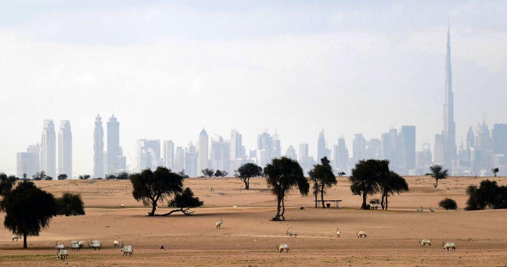 المها الأبيض في مرعى بالقرب من دبي، الإمارات العربية المتحدة 25 مارس 2020