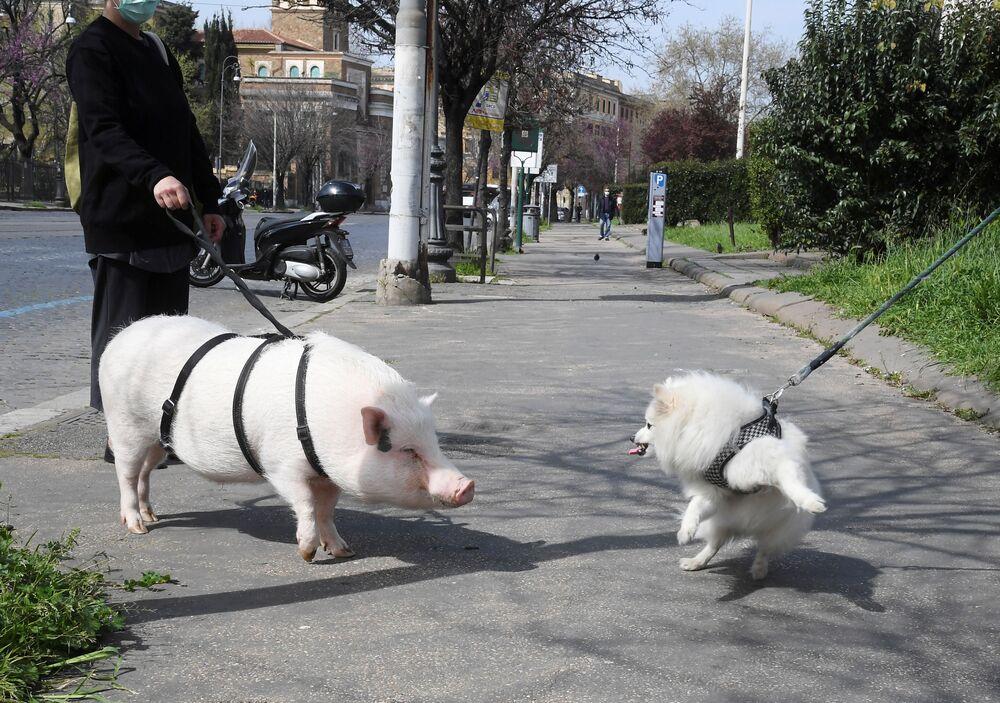 امرأة ترتدي القناع الواقي تتنزه مع خنزيرها المسمى ديور، بعد فرض الحجر الصحي مع تفشي  فيروس كورونا في منطقة تيستاشيو بروما، إيطاليا 21 مارس 2020