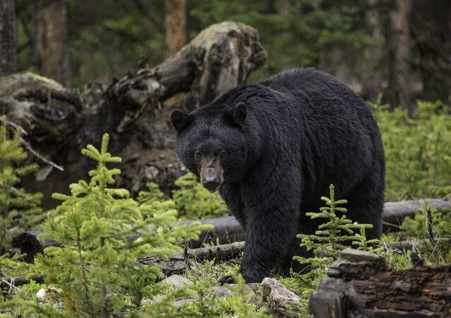 الدب الأسود