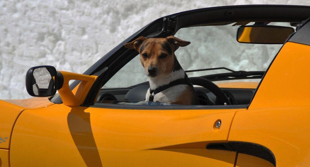 كلب يجلس في مقعد السائق