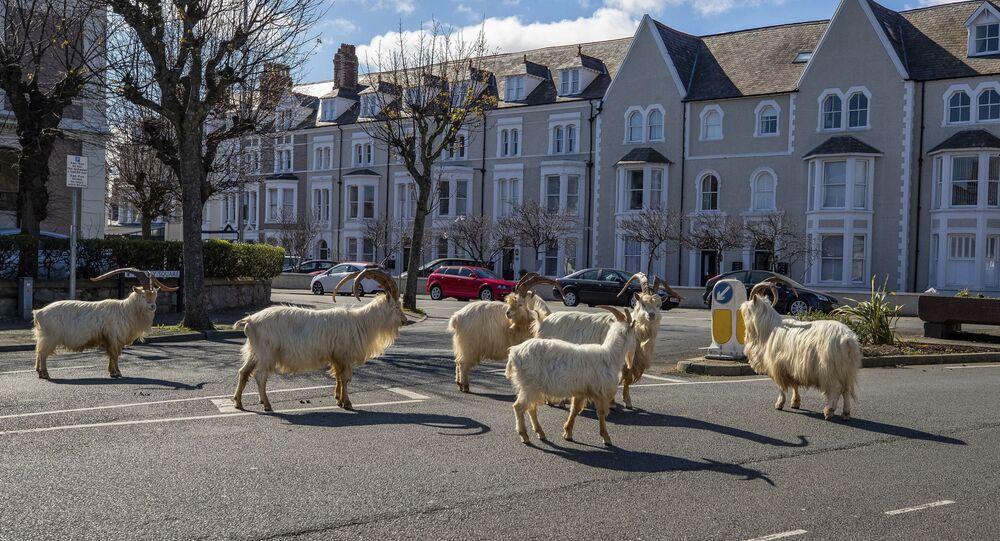 استولت مئات القطعان من الماعز الجبلي المنحدر من كيب جريت أورم على مدينة لاندودنو الساحلية في ويلز، وهي الآن تركض في شوارع المدينة المهجورة وتنظر إلى النوافذ. 31 مارس 2020