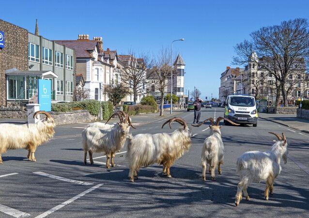استولت مئات القطعان من الماعز الجبلي المنحدر من كيب جريت أورم على مدينة لاندودنو الساحلية في ويلز، وهي الآن تركض في شوارع المدينة المهجورة وتنظر إلى النوافذ.