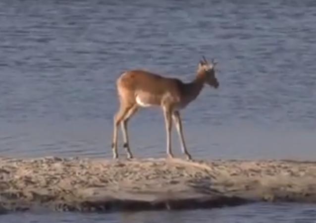 غزالة تحاول الهرب من تمساح وفرس النهر