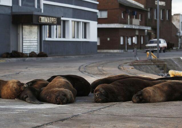 أسود البحر في شوارع مدينة أرجنتينية