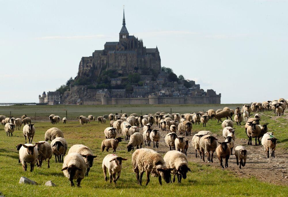 رعي الأغنام بالقرب من جبل سانت ميشيل المهجور في المنطقة الغربية الفرنسية من نورماندي ، حيث الإغلاق لإبطاء انتشار مرض الفيروس التاجي (كوفيد-19) في فرنسا ، 18 أبريل 2020.