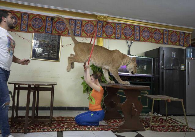 شاب مصري يدرب الأسود في المنزل