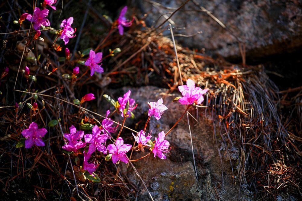 تفتح الأزهار على بحيرة بايكال