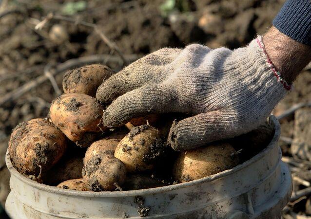جمع البطاطا في مزرعة