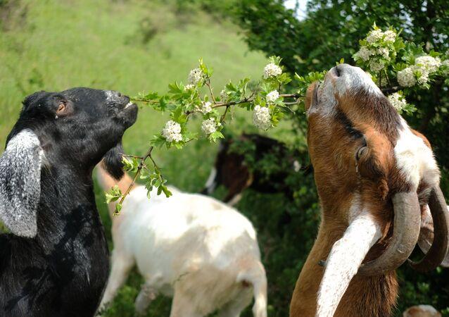 ماعز من ماعز الأنجلونوبيان هي سلالة ماعز في بريطانيا، في مزرعة فرعية خاصة في كراسنودارسكي كراي، روسيا