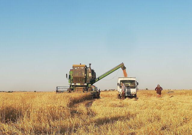 حقول القمح في الحسكة، سوريا