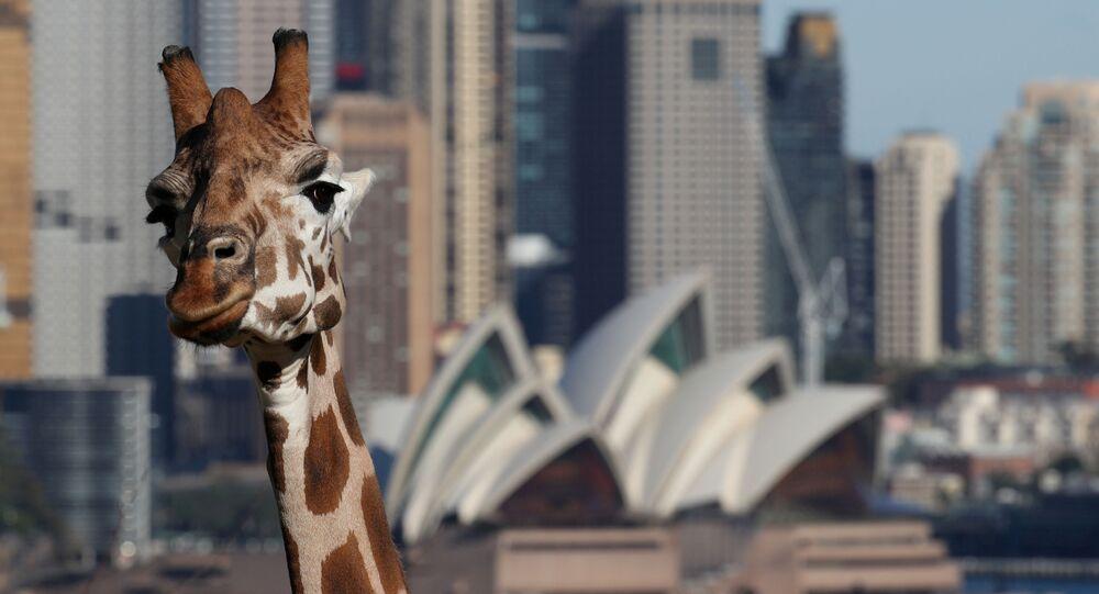 إعادة فتح حديقة الحيوانات تارونغا في سيدني، بعد إغلاق تام دام أكثر من شهرين بسبب تفشي فيروس كورونا في أستراليا 1 يونيو 2020