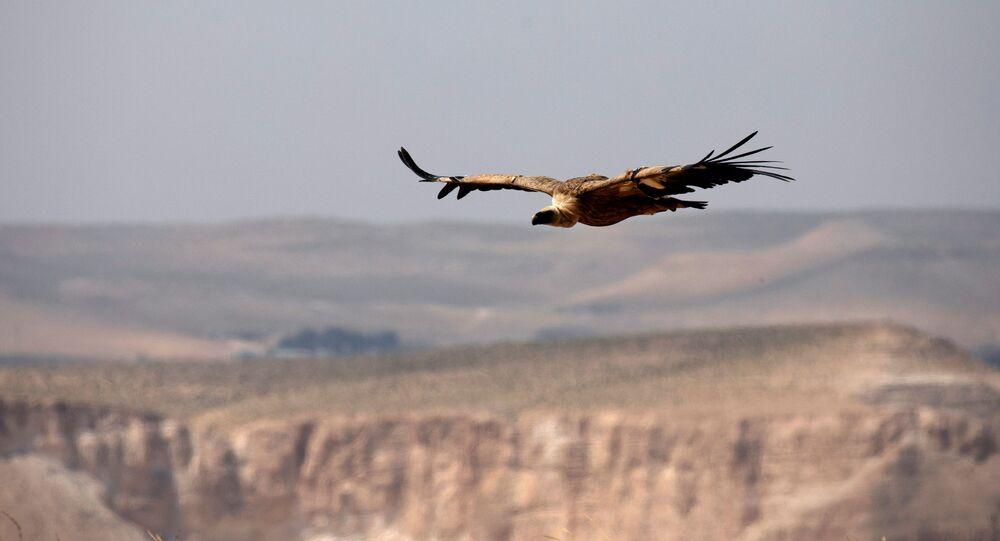 إطلاق سراح نسر أسمر (أو نسر غيفرين)  بعد أن تم الإمساك به والحفاظ عليه لفترة مؤقتة كجزء من مشروع وطني لحماية وزيادة نسل الطيور المحمية في إسرائيل، بالقرب من سديه بوكر  في جنوب إسرائيل، 14 مايو/ أيار 2020.