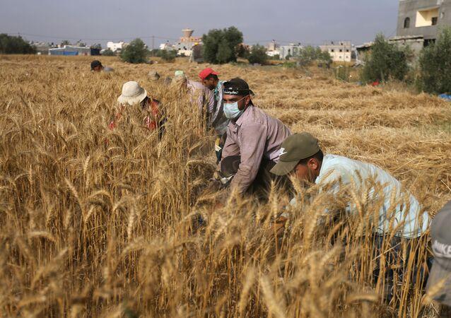 فرقة كوماندوز الجامعية تنافس الآلات في جني محاصيل غزة