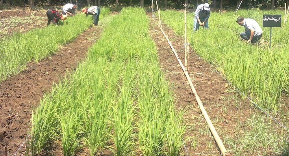 سوريا تبدأ زراعة الأرز لمواجهة اشتداد الحصار الغربي