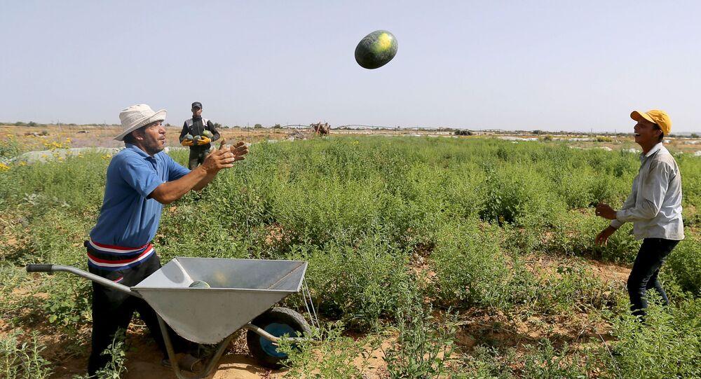 موسم البطيخ في قطاع غزة، 17 يونيو/ حزيران 2020