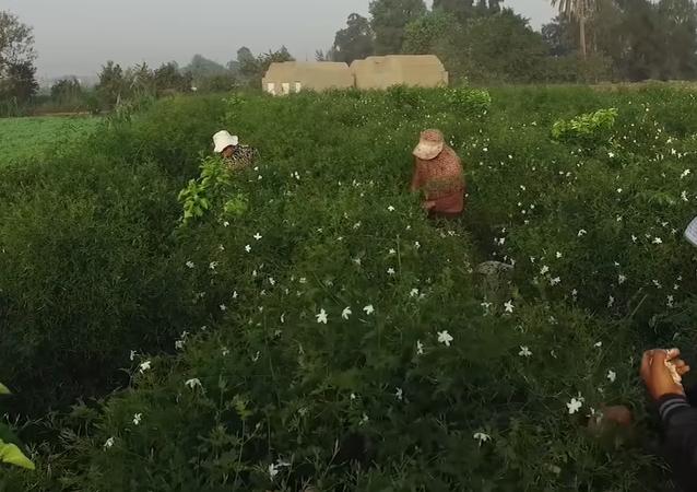زراعة الياسمين في مصر