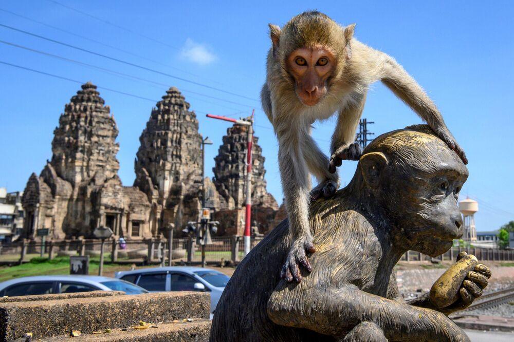 مكاك يتسلق على تمثال أمام معبد بوذي برانغ سام يود في لوب بوري، تايلاند، 20 يونيو 2020 منطقة محظورة على البشر - وهي مدينة تايلاندية قديمة يسيطر عليها القرود التي تبحث عن الوجبات السريعة، وتتكاثر بصورة خارجة عن نطاق السيطرة.