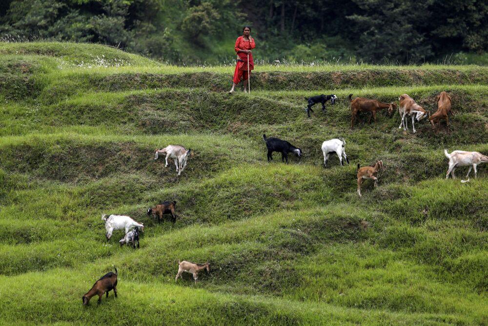 راعية أغنام في حقول بهاكتابور، نيبال 23 يونيو 2020