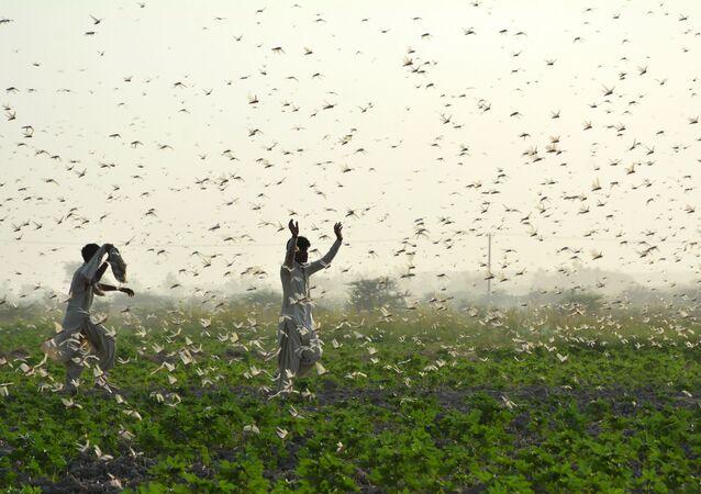 مزارعون يحاولون إبعاد سرب من الجراد من حقل في ضواحي سوكور في مقاطعة السند الجنوبية في 1 يوليو 2020. يكافح المزارعون أسوأ كارثة للجراد منذ 25 عامًا يمحو محاصيل كاملة في قلب الأراضي الزراعية في باكستان.